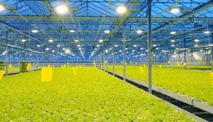 rows of lettuce growing under greenhouse supplemental lighting